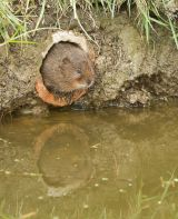 Open stan maddams water vole