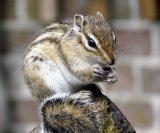 Chipmunk Enjoying Lunch - Lynne Sorce