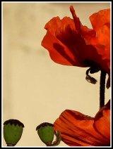 Simply Red - Lynne Sorce