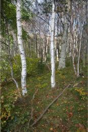 In birches