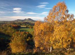 Scott's View Birches