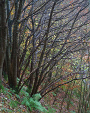 Gullet Wood 3