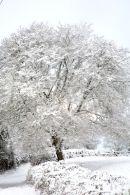 Pitney Tree