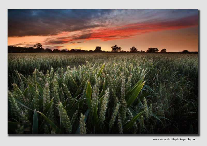 Cornfield - Staffordshire  - SS7387