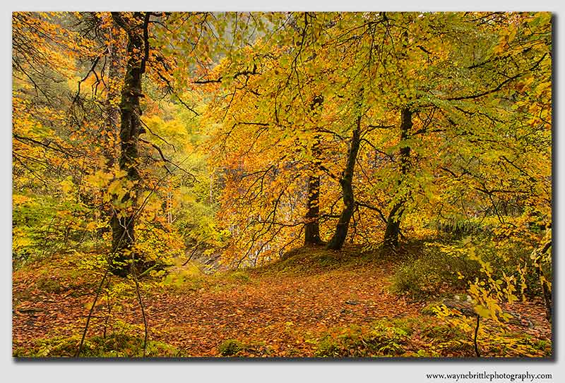 Autumn-Gold- 3 - W5D39326