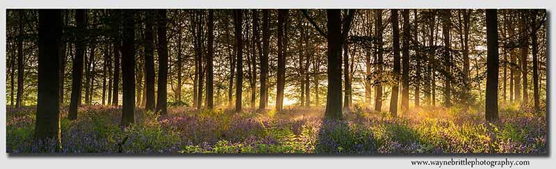 Bluebell Dawn Panorama