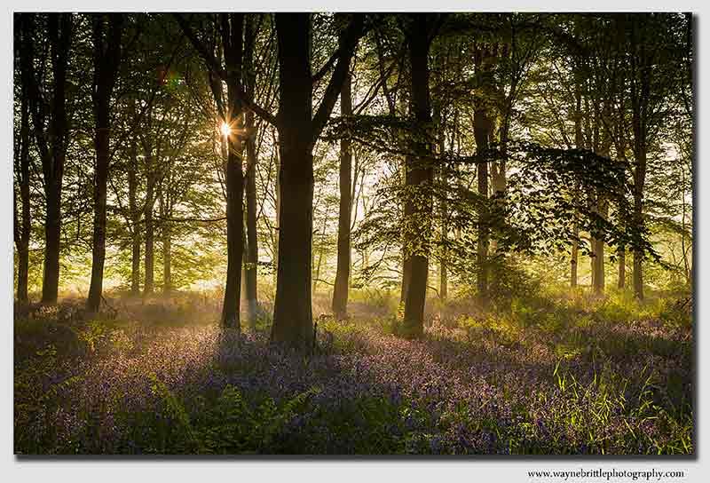 Bluebell Light - W5D39904