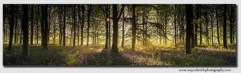 Bluebell Dawn Panorama 2