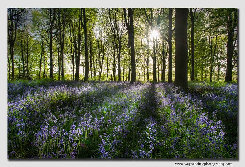 Derbyshire-Bluebell-Morning-Light---W5D32490