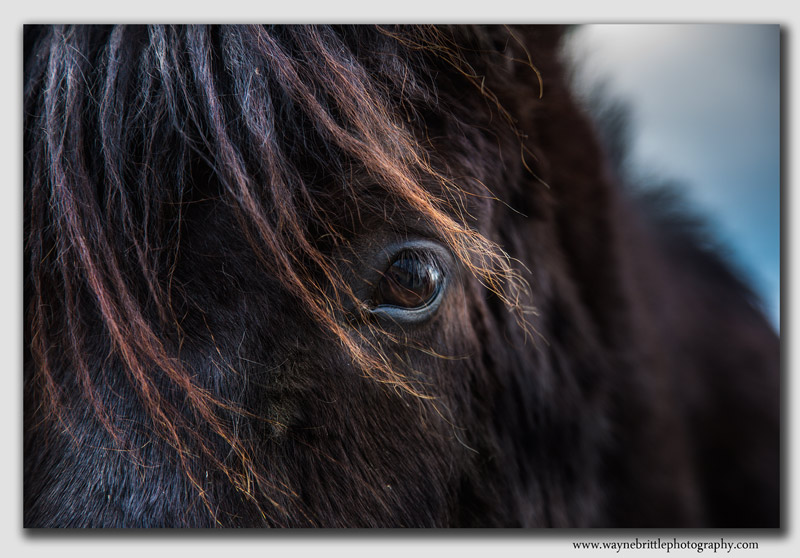 Icelandic Horse up close