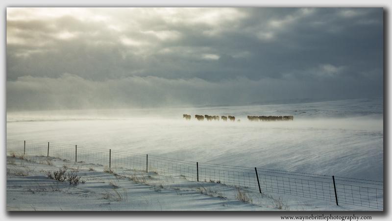 Icelandic Horses in the Snow