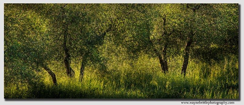 Olive Trees - 5DSR0841