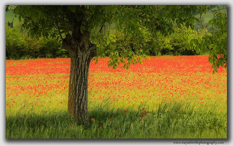 Tuscany Poppyfield - W5DSR0823