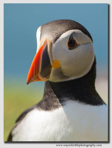 Puffin Portrait - W5D30712