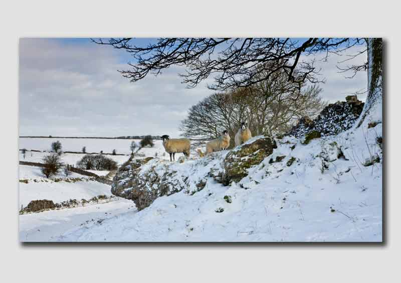 Sheep in the Snow - Peak District - PS111