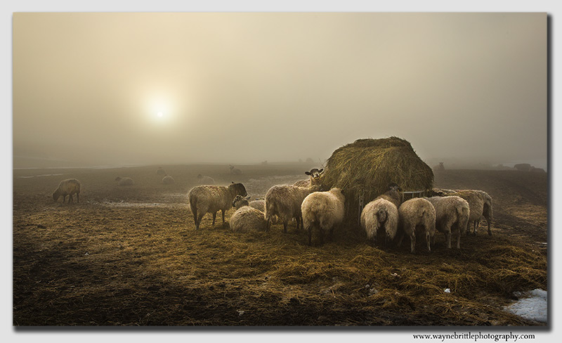 Sheep in the Morning Mist - Peak District - FX8A9247