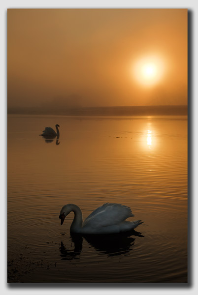 Swan's on a Golden Pond 3 - DS3235