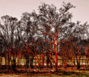 Nocia wax trees