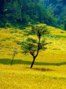 Sikkim rice fields