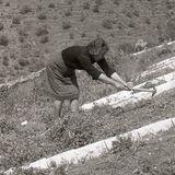 Clearing raisin drying bed - Cómpeta - Spain 1987