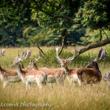 Deer at Studley Royal