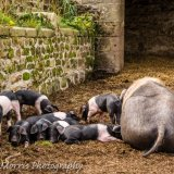 Saddle-back piglets