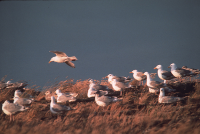 Glaucous winger gull immatures