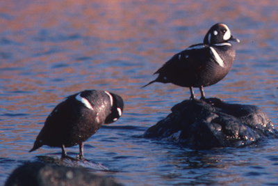 Harlequin ducks molting