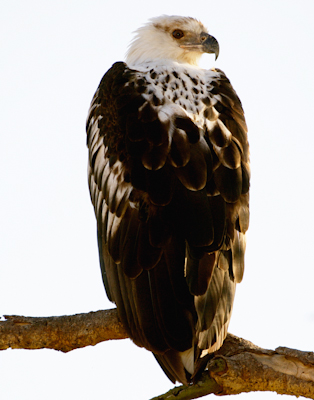 Fish Eagle Immature