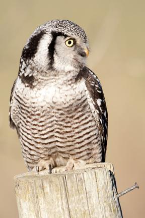 Northern-hawk-owl