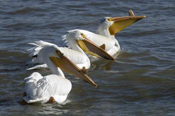 American Pelican Last Mountain Lake
