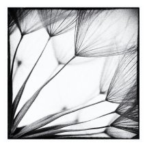 Dandelion 7