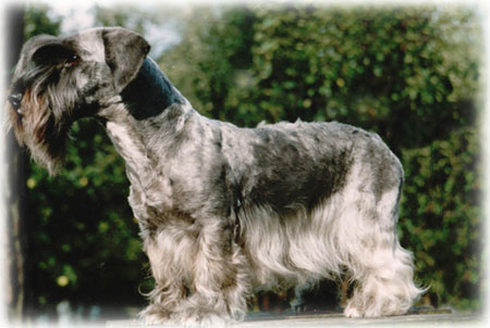 Chrpa del Monte. The breed standard was based on this bitch.