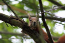 Red Squirrel - looking at me, looking at him