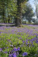 Bluebells at Newbridge, Ashdown Forest