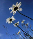 Oxeye Daisy in Sunshine