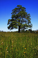 Sycamore in Meadow