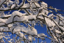 Winter Bough, Cherry Tree wighed down with snow