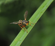 Conopid fly Wasp Mimic