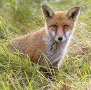 Foxcub