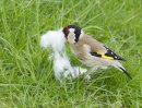 Goldfinch - with nesting material (cotton wool)