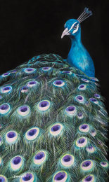 Peacock on Black