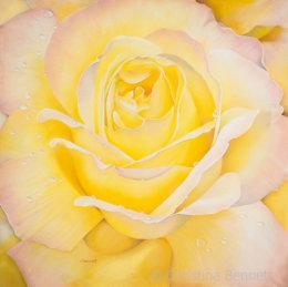 Yellow Blush Rose