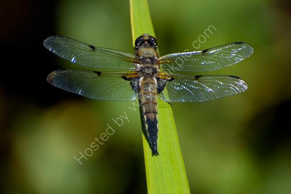Dragonfly_enjoying_the_sun