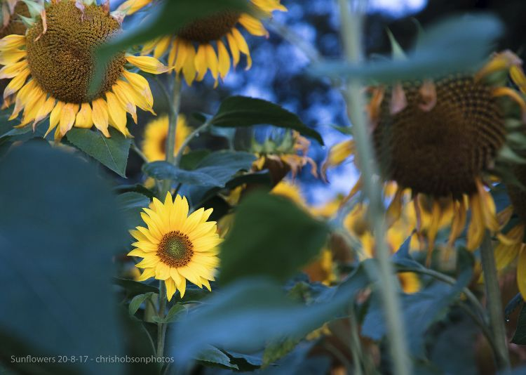 sunflowers20-8-17-204
