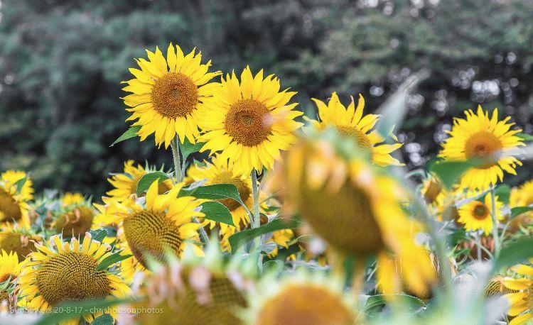 sunflowers20-8-17-207
