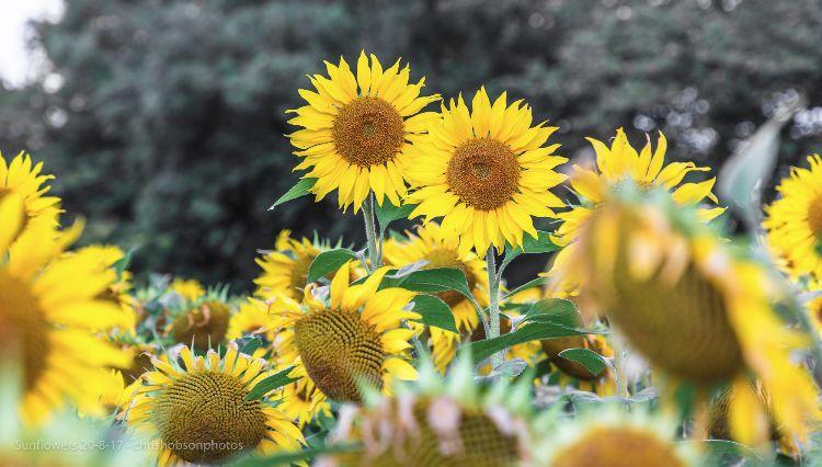 sunflowers20-8-17-209