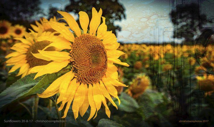 sunflowers20-8-17-212-Edit