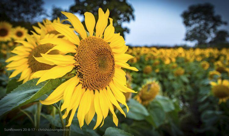 sunflowers20-8-17-212