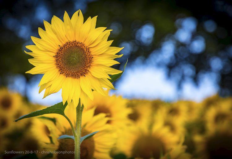 sunflowers20-8-17-215-2